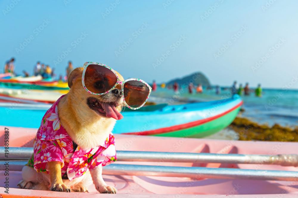 Fototapety, obrazy: Cute chihuahua dog