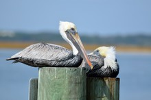 Pelicans Resting On A Piling