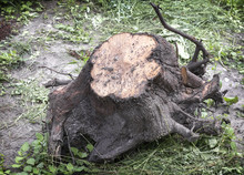 A Large Uprooted Tree Stump Wi...