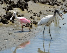 Spoonbill And Wood Stork Wadin...