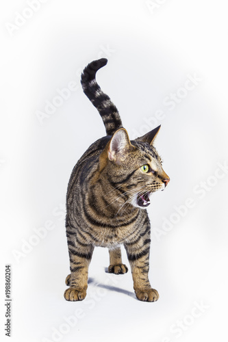 cat posing on a table with white background