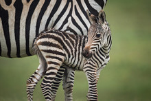 Close-up Of Baby Plains Zebra ...