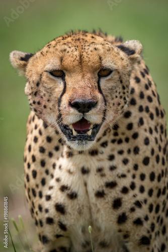 Close-up of cheetah facing camera on savannah