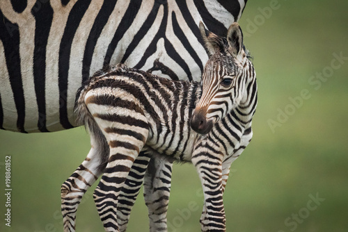 Aluminium Prints Zebra Close-up of baby plains zebra beside mother