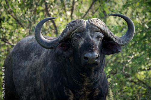 Close-up of Cape buffalo looking towards camera