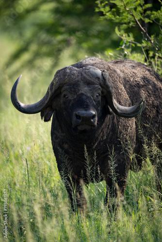 Staande foto Buffel Close-up of Cape buffalo staring towards camera