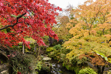 Acer Palmatium Trees With Red ...