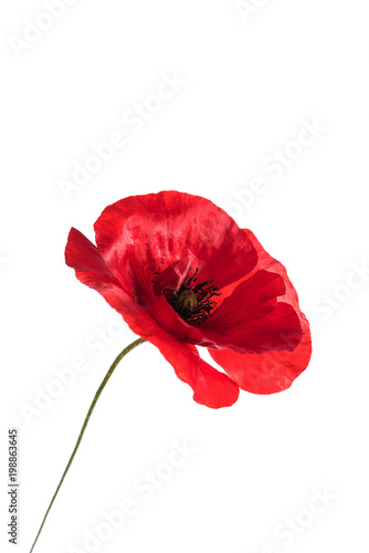 Poster Poppy poppy flower isolated