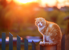Bright Red Cat Sitting On Fence In Village During Sunset