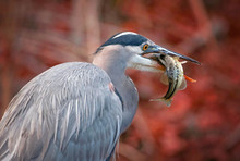 Beautiful Photo Of A Great Blue Heron Eating A Striped Bass Fish