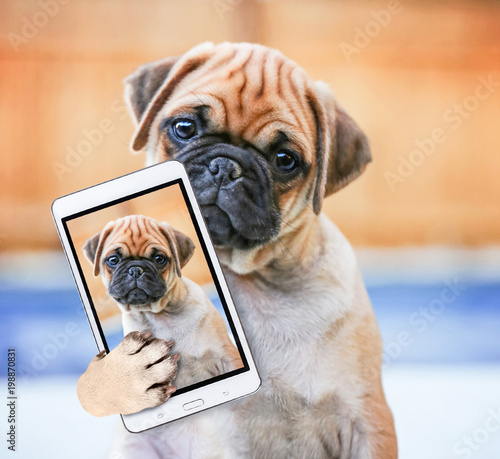 cute chihuahua pug mix puppy (chug) looking at the camera with a head tilt in front of a fenced in pool in a backyard during summer taking a selfie toned with a retro vintage instagram filter app