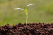 New plant seed germinting from the soil
