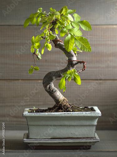 Spoed Fotobehang Bonsai miniature bonsai tree Chinese elm.
