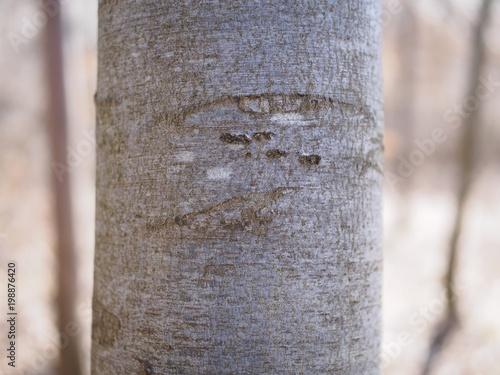 Nahaufnahme - junger Buchenbaum vor unscharfem Hintergrund