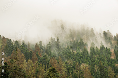 Spoed Foto op Canvas Khaki coniferous green trees in the fog, clouds in the mountains landscape background
