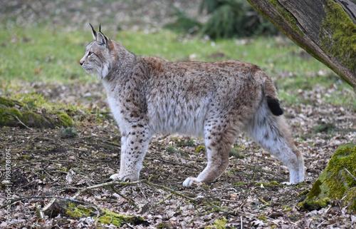 Fotobehang Lynx Der Luchs