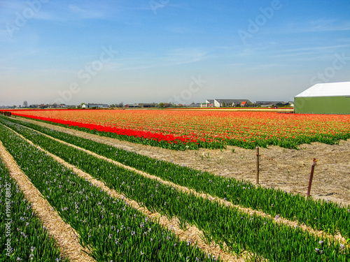 Photographie  Tulip Fields