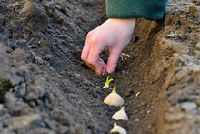Female Hands In The Ground Pla...