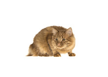 Bobtail Red Cat Ginger On Isol...