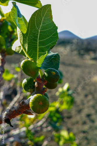 Tuinposter Canarische Eilanden Vegetation on lava rocks, fig fruits riping on fig tree, Timanfaya national park, Lanzarote, Canary Islands, Spain