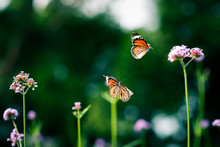 Two Butterflies Flying Among P...