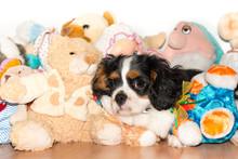 Cavalierking Puppy Charles Spa...