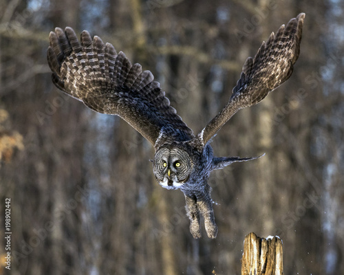 Keuken foto achterwand Uil Great Gray Owl taking off from a post too