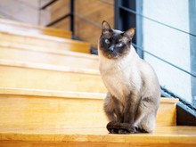 Portrait Of Siamese Cat Sitting On The Stair Floor. Looking At Camera, Siamese Cat With Blue Eyes And Long Whiskers At Home. Portrait With An Alert Face.