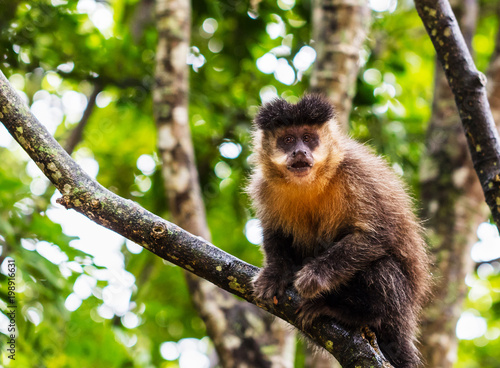 Foto op Canvas Aap Macaco-prego na floresta