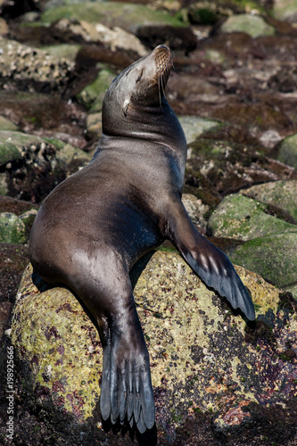 Resting Sea Lion Poster