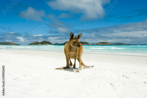 Kangaroo on Lucky Bay - Cape Le Grand National Park - Australia