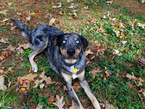 Blue merle Louisiana catahoula leopard dog with intense double glass blue eyes laying in the grass and leaves on a fall day Wallpaper Mural