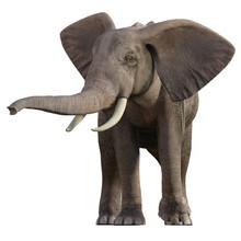 Grey Elephant Isolated On Whit...