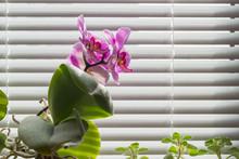 Flowering Pink Phalaenopsis Or...