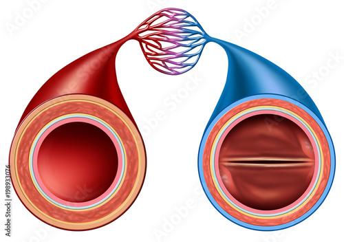 Artery And Vein Canvas Print