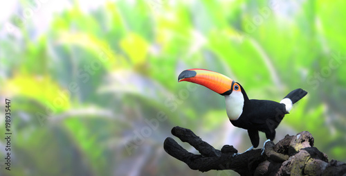 Poster Toucan Horizontal banner with beautiful colorful toucan bird