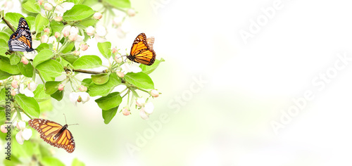 Flowers of apple-tree and monarch butterflies