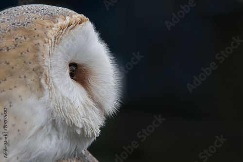 Close up profile portrait of the head only of a barn owl, tyto alba,  staring sideways against a dark background with copy space to the right