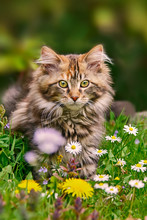 A Brown Tabby Maine Coon Kitte...