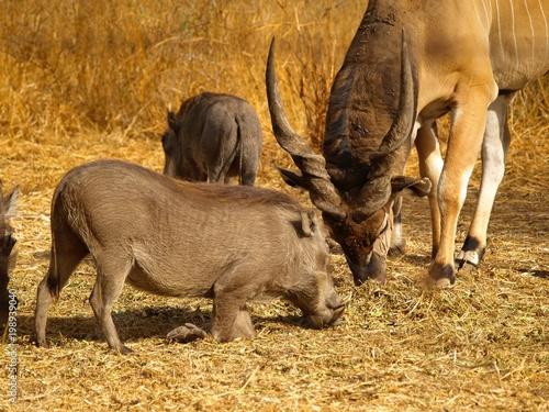 Foto op Aluminium Olifant safari