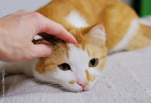 Cuadros en Lienzo woman hand petting cute orange and white cat