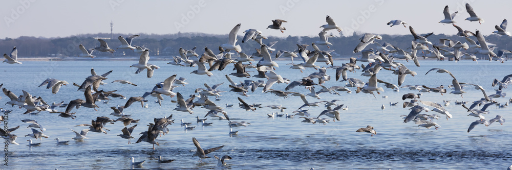 Fliegender Schwarm Möwen, (Laridae), Ostseeküste, Lübecker Bucht, Schleswig-Holstein, Deutschland