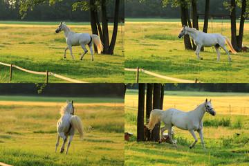 Zestaw czterech białych Arabskich koni biegających po łące o wschodzie słońca.