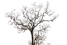 Isolated Tree On White Backgro...