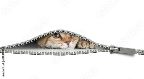 Papiers peints Jardin funny cat behind open zipper isolated on white
