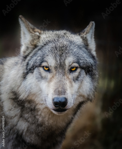 Poster Wolf wolf