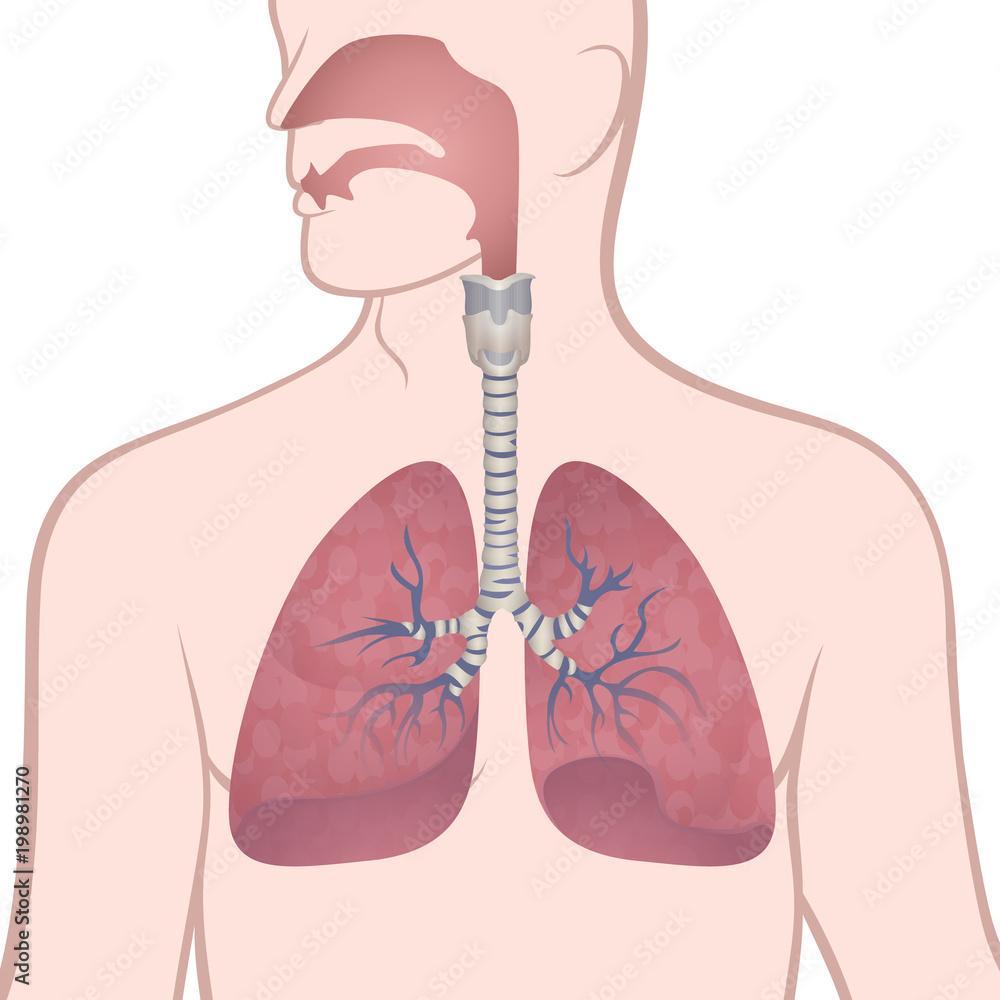 Fototapeta human lungs, trachea and nasopharynx