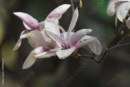 Tuinposter Magnolia magnolia flower on tree