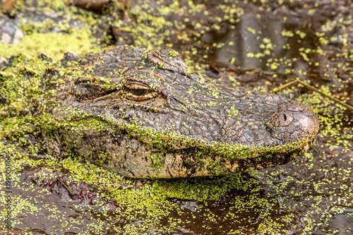 American Alligator is hiding in green swampy water