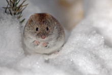 Cute Field Mouse On The White ...